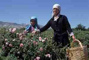 Rose Pickers, Isparta, Turkey