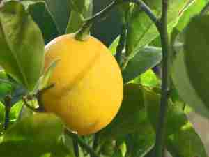 Meyer_Lemon